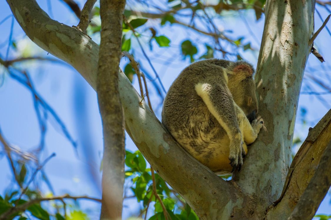 Koala – Noosa Heads, Australia