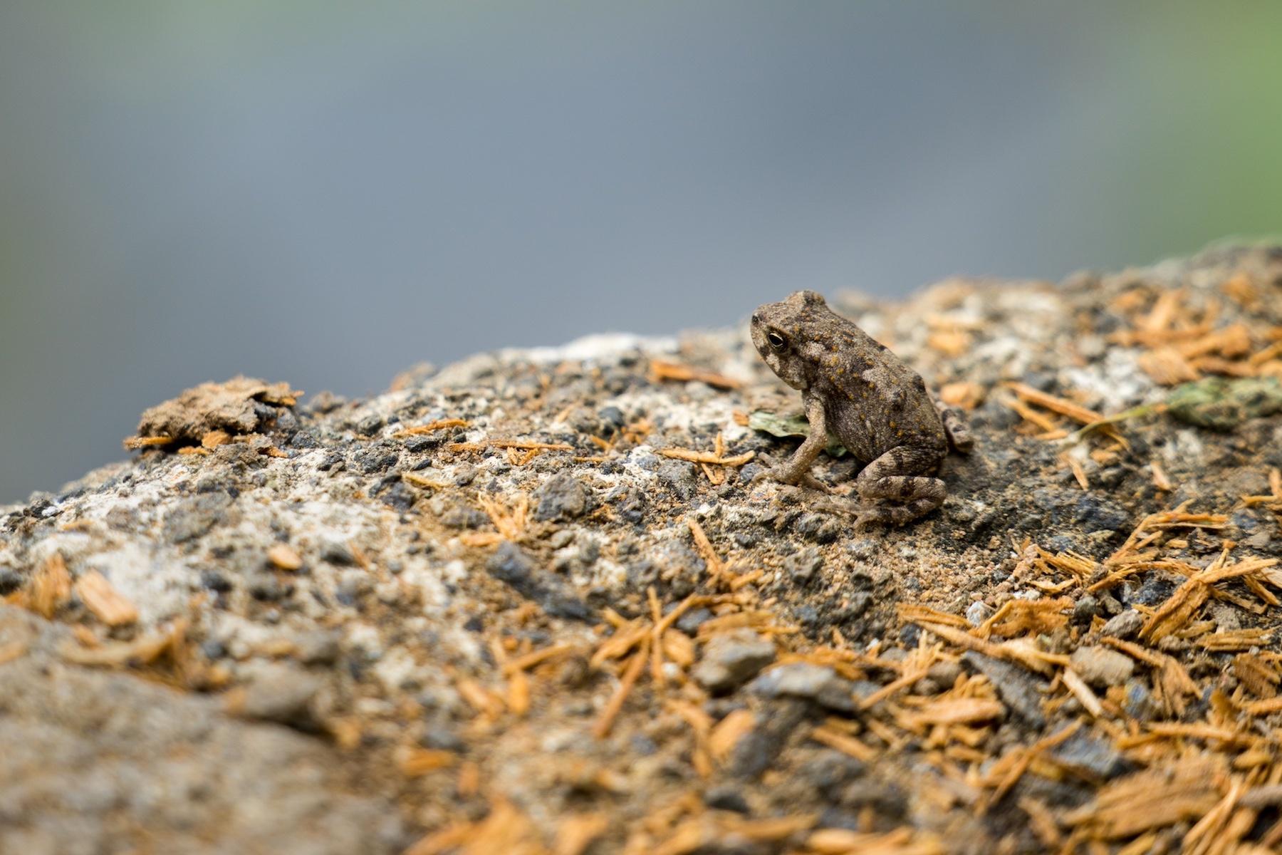 Cane Toad– Bundaberg, Australia