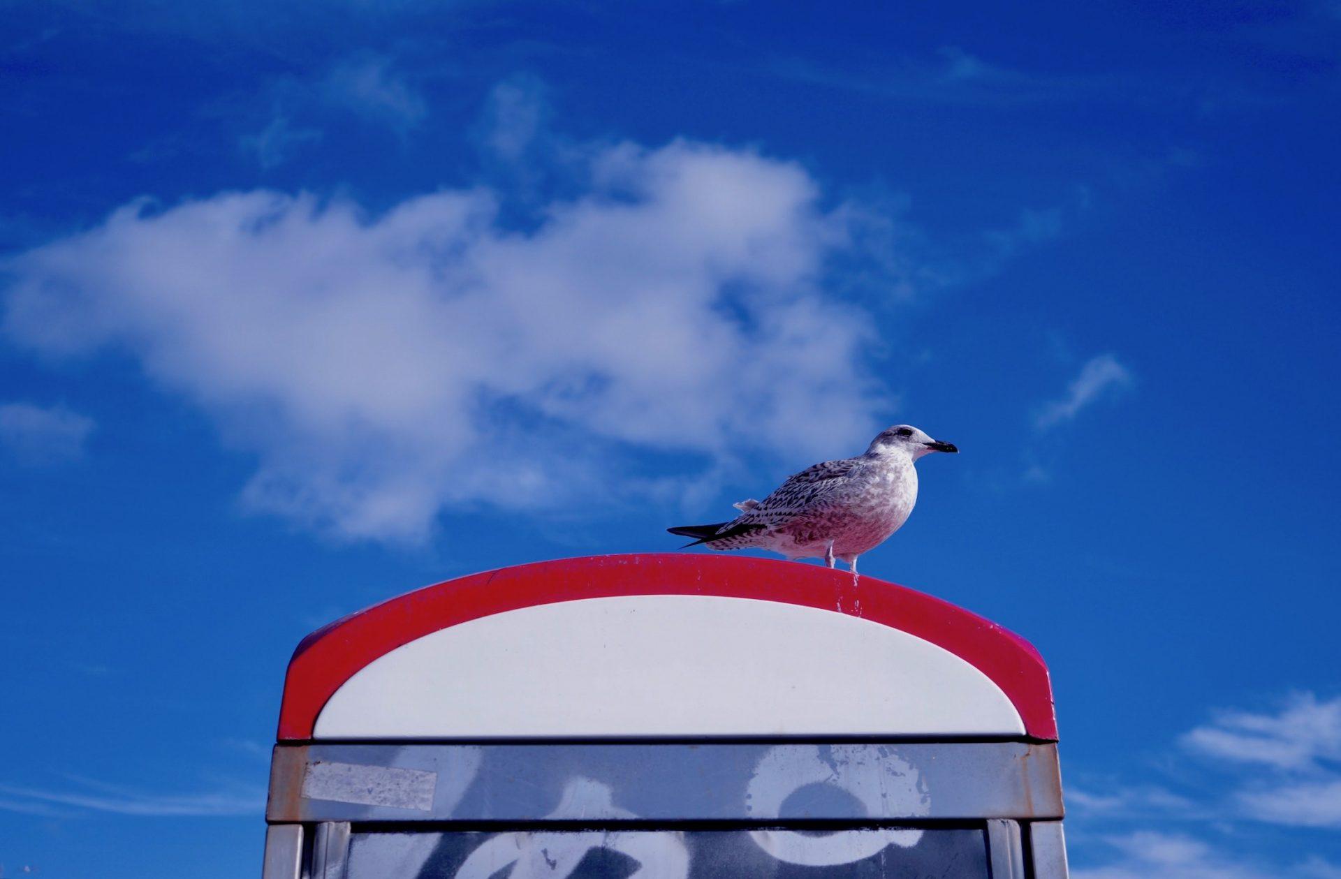 Herring Gull – Brighton, UK