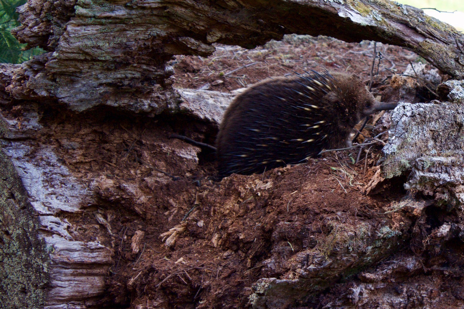 Echidna –Tasmania, AU