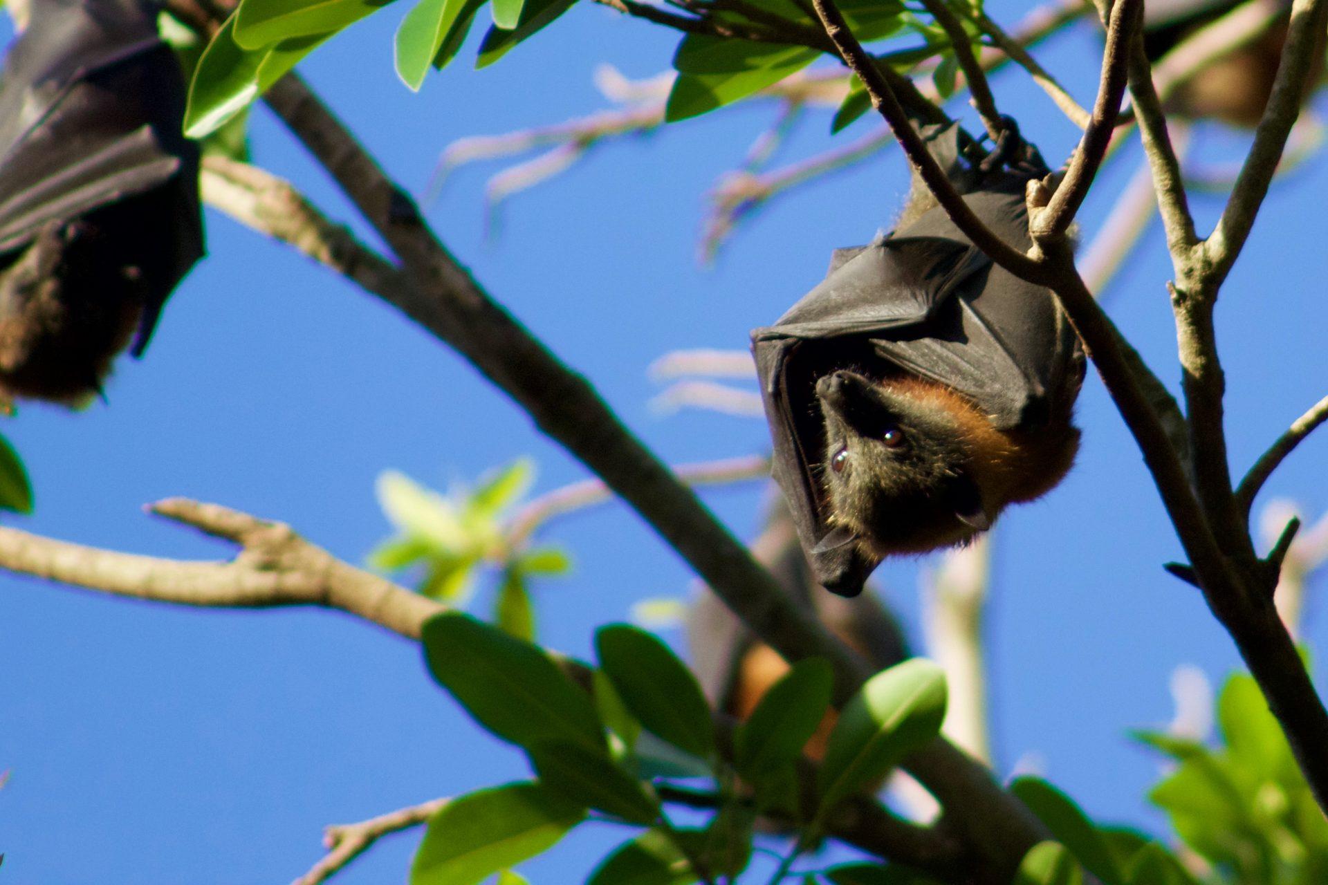 Flying Foxes –Australia