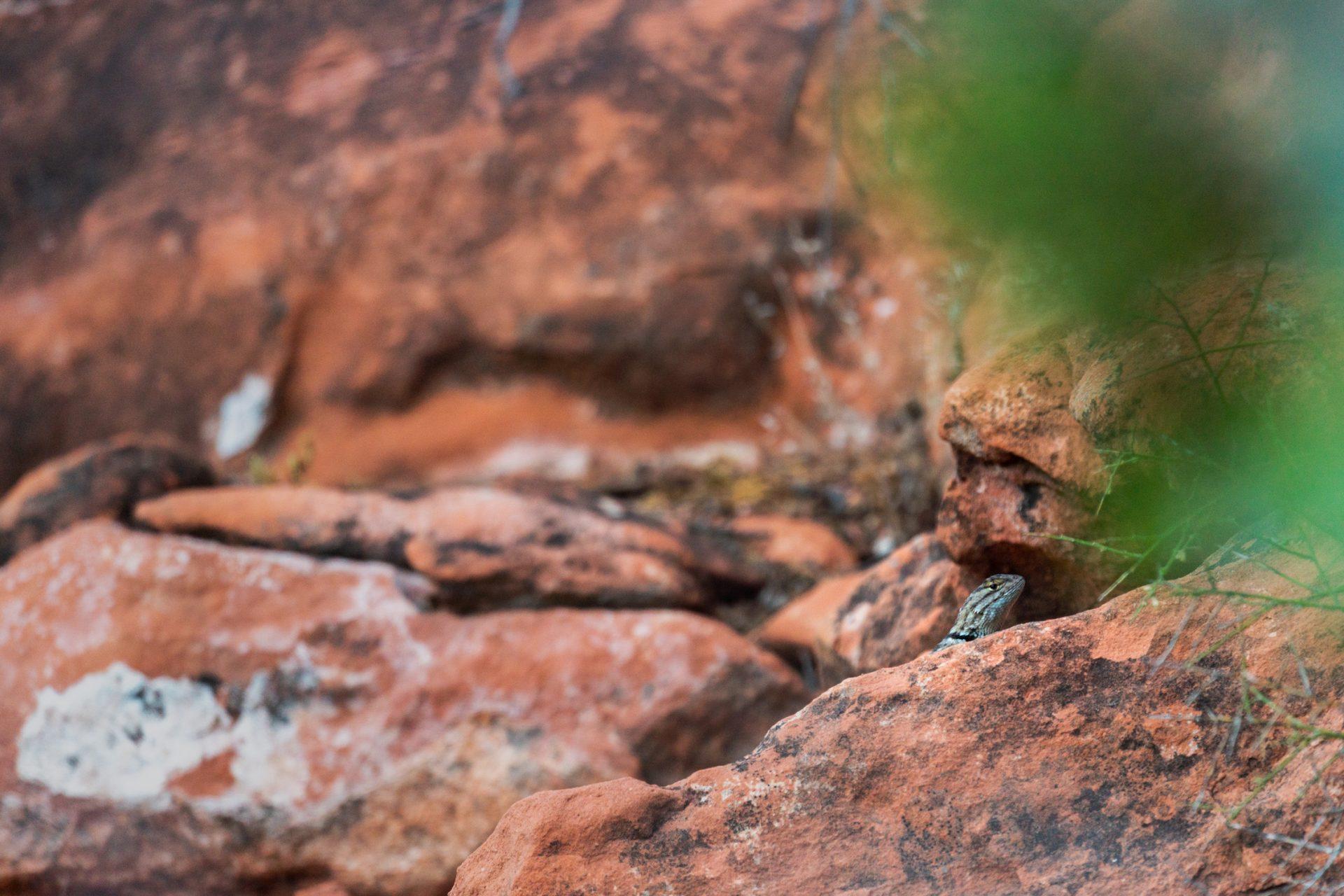 Plateau Fence Lizard – Sedona, Arizona