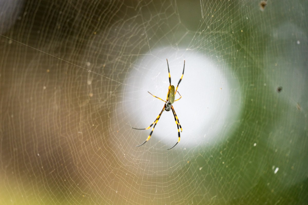 Orb Spider – Sydney, Australia