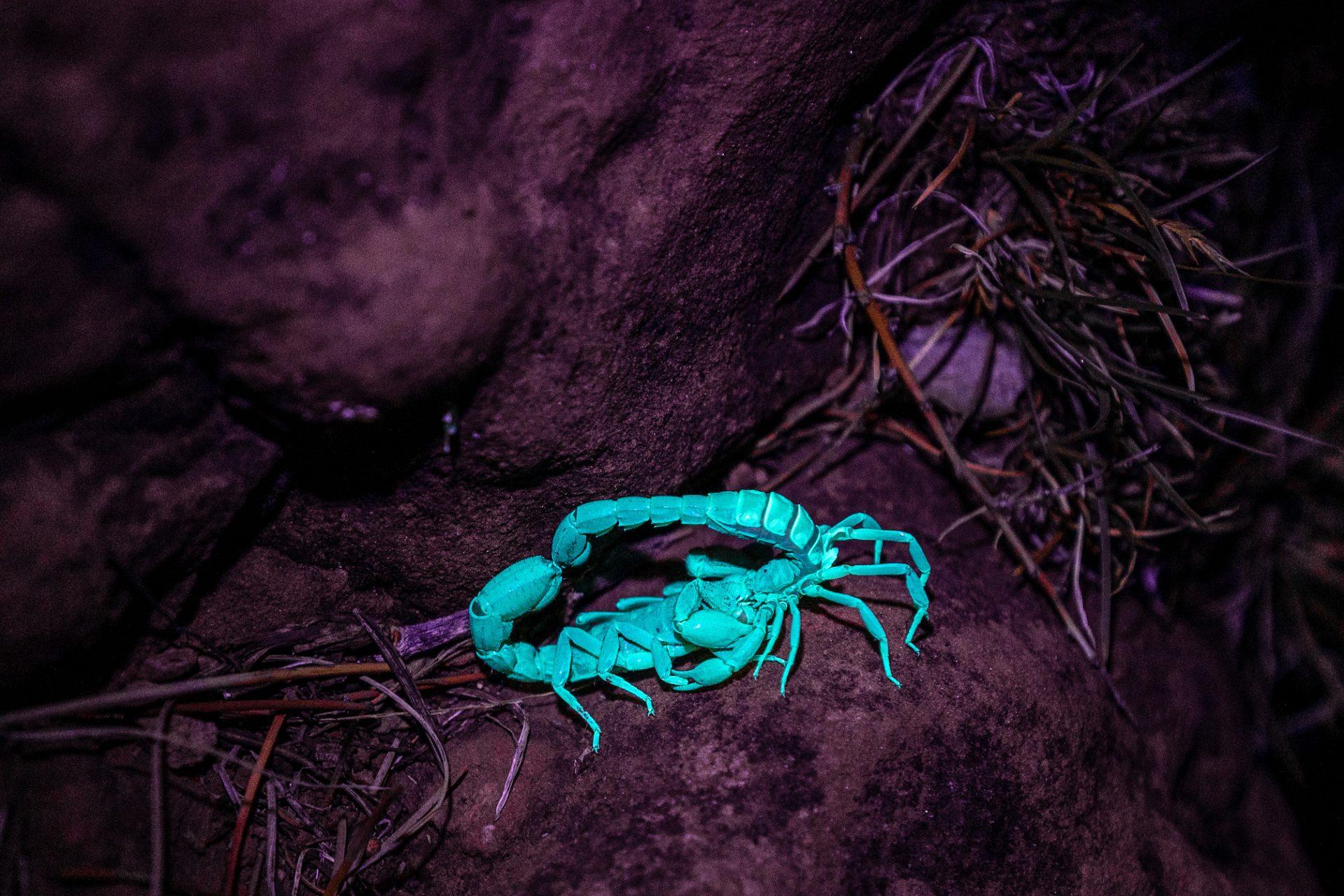 Scorpions Mating –Sedona, Arizona