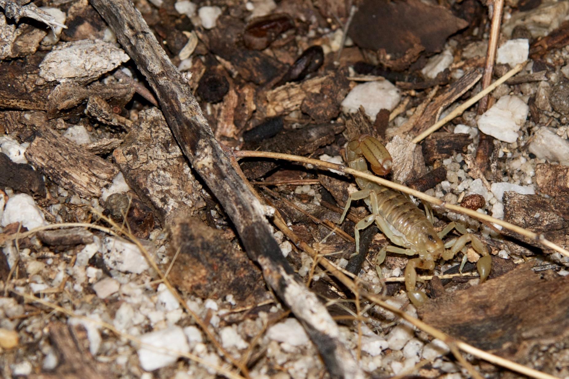 Striped-Tailed Scorpion –Arizona