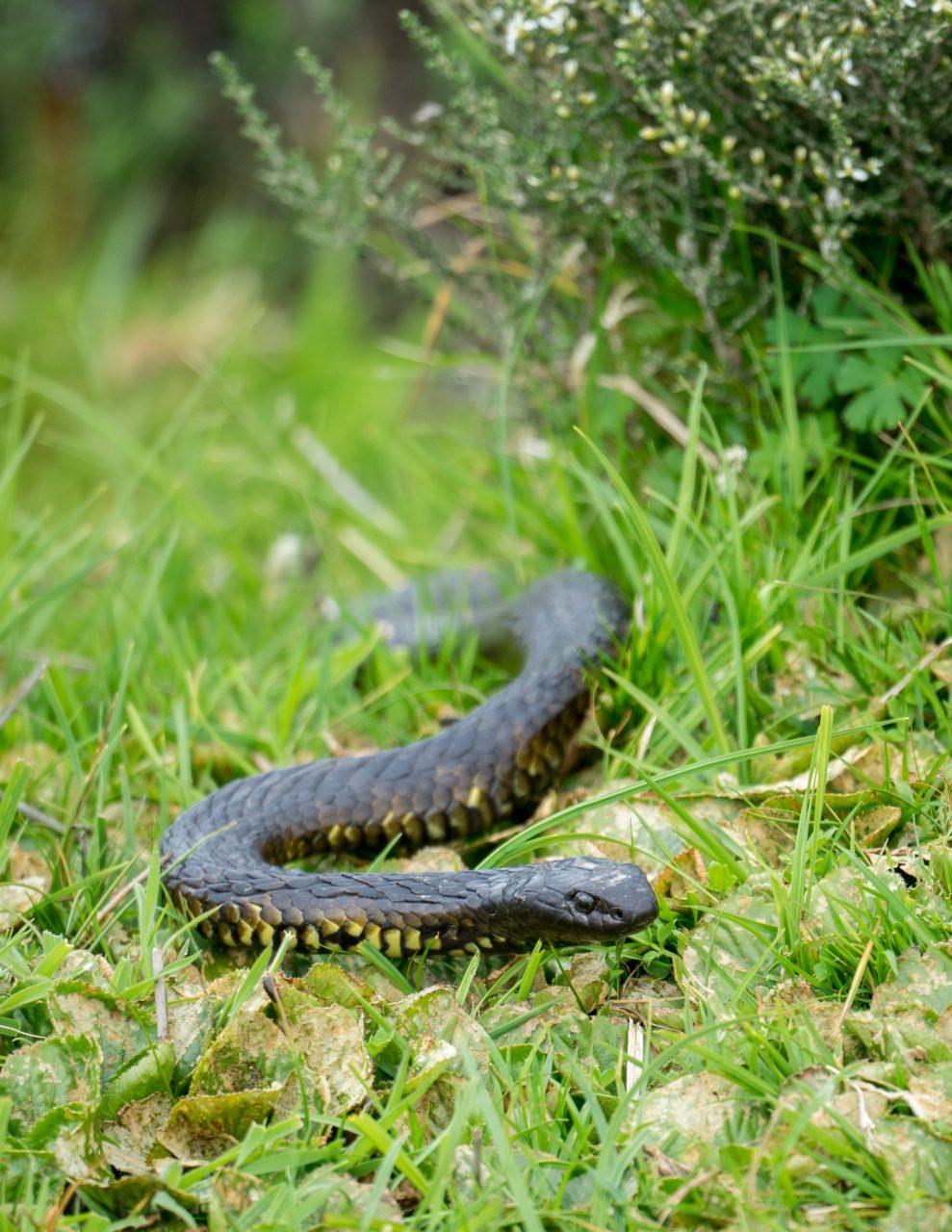 Tiger Snake – Cradle Mountain, Tasmania