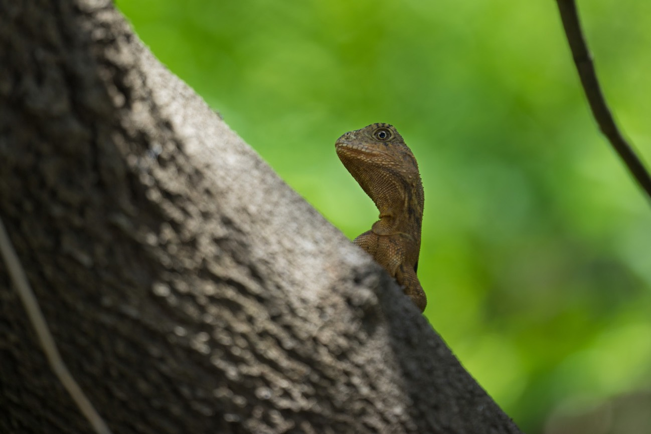 Water Dragon –Bundaberg, Australia