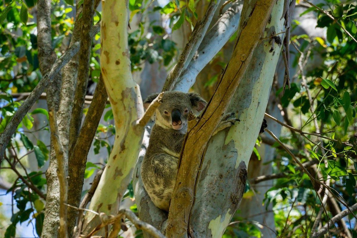 Koala –Noosa Heads, Australia