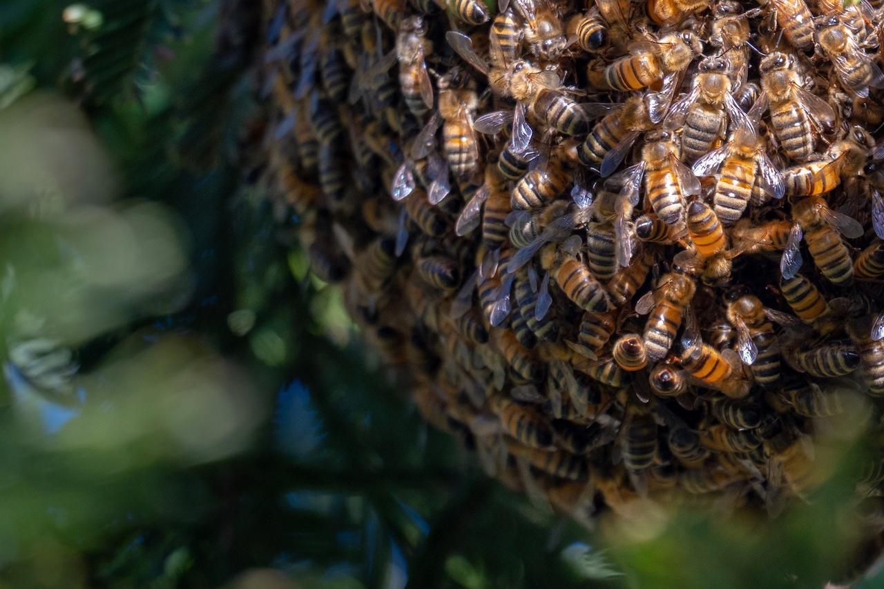 Honeybee Swarm – California