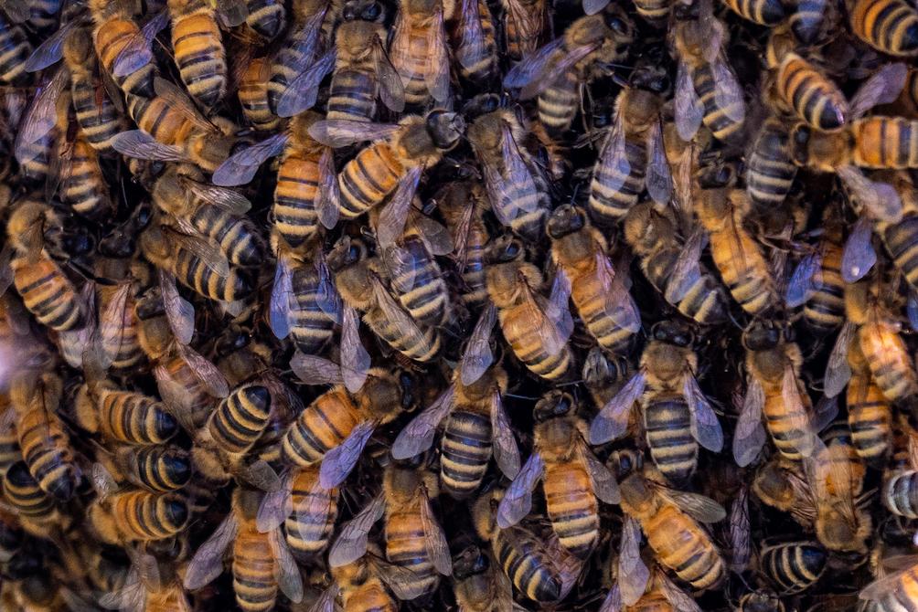Honeybees – California