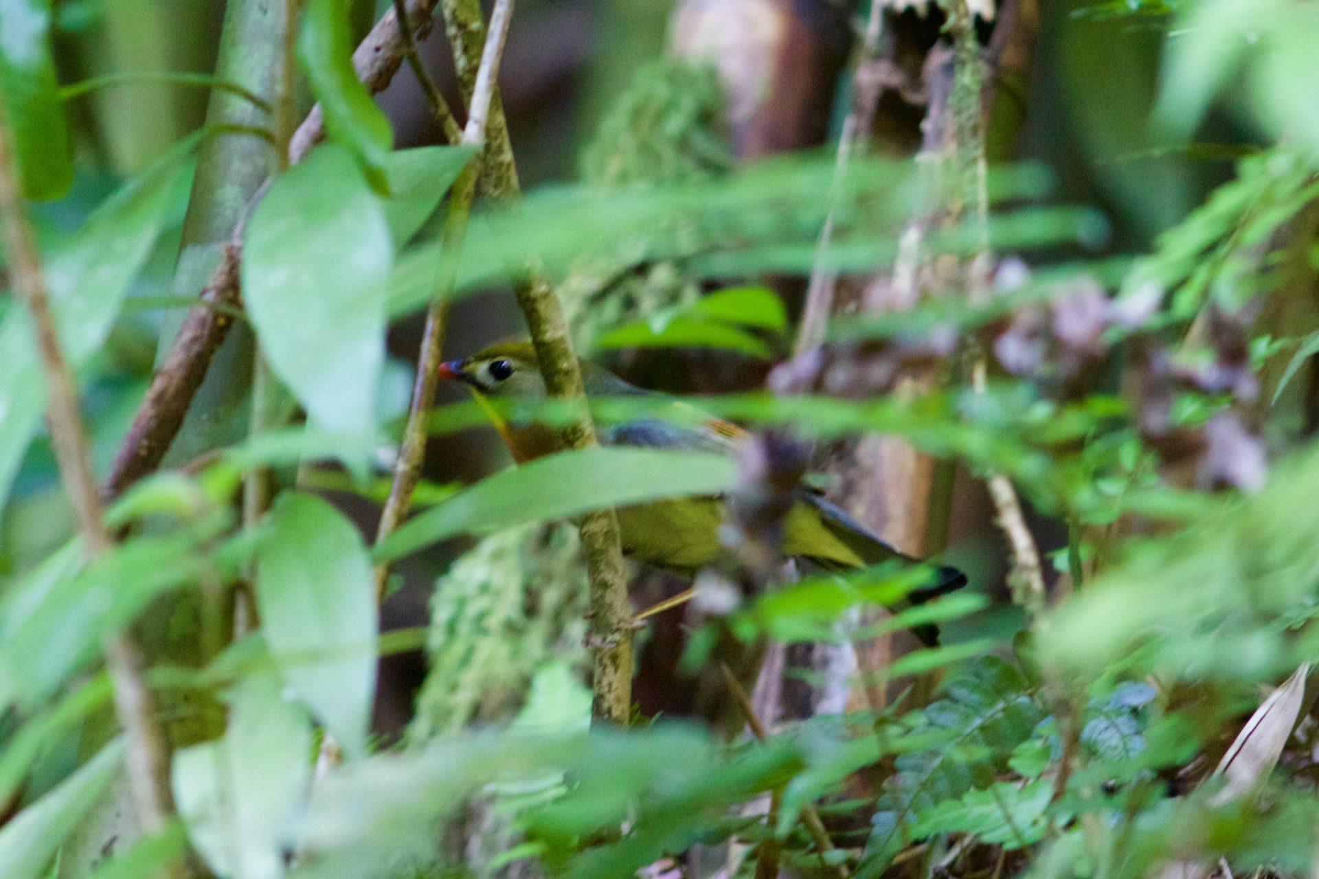 Red-billed Leiothrix –Oahu, Hawaii