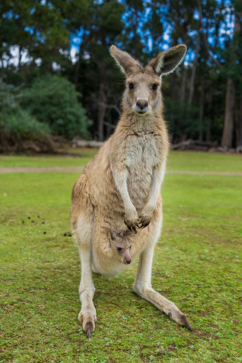 Kangaroo & Joey –Tasmania, AU