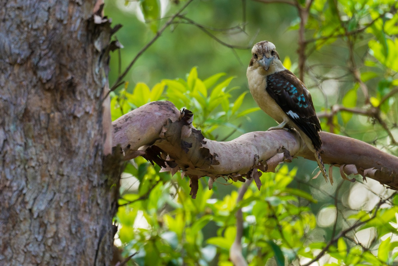 Kookaburra – Kondalilla National Park, AU