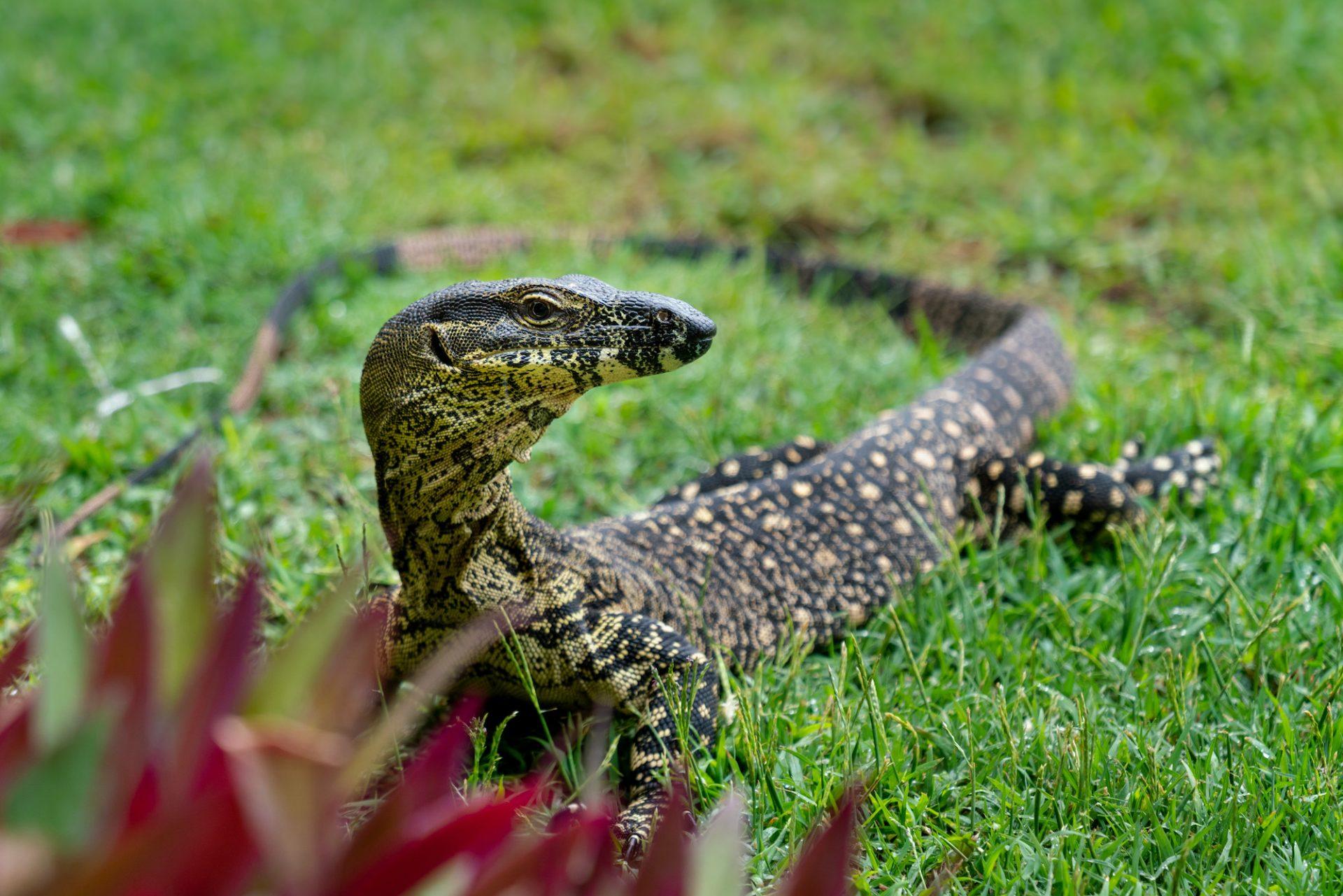 Lace Monitor – Noosa Heads, Australia