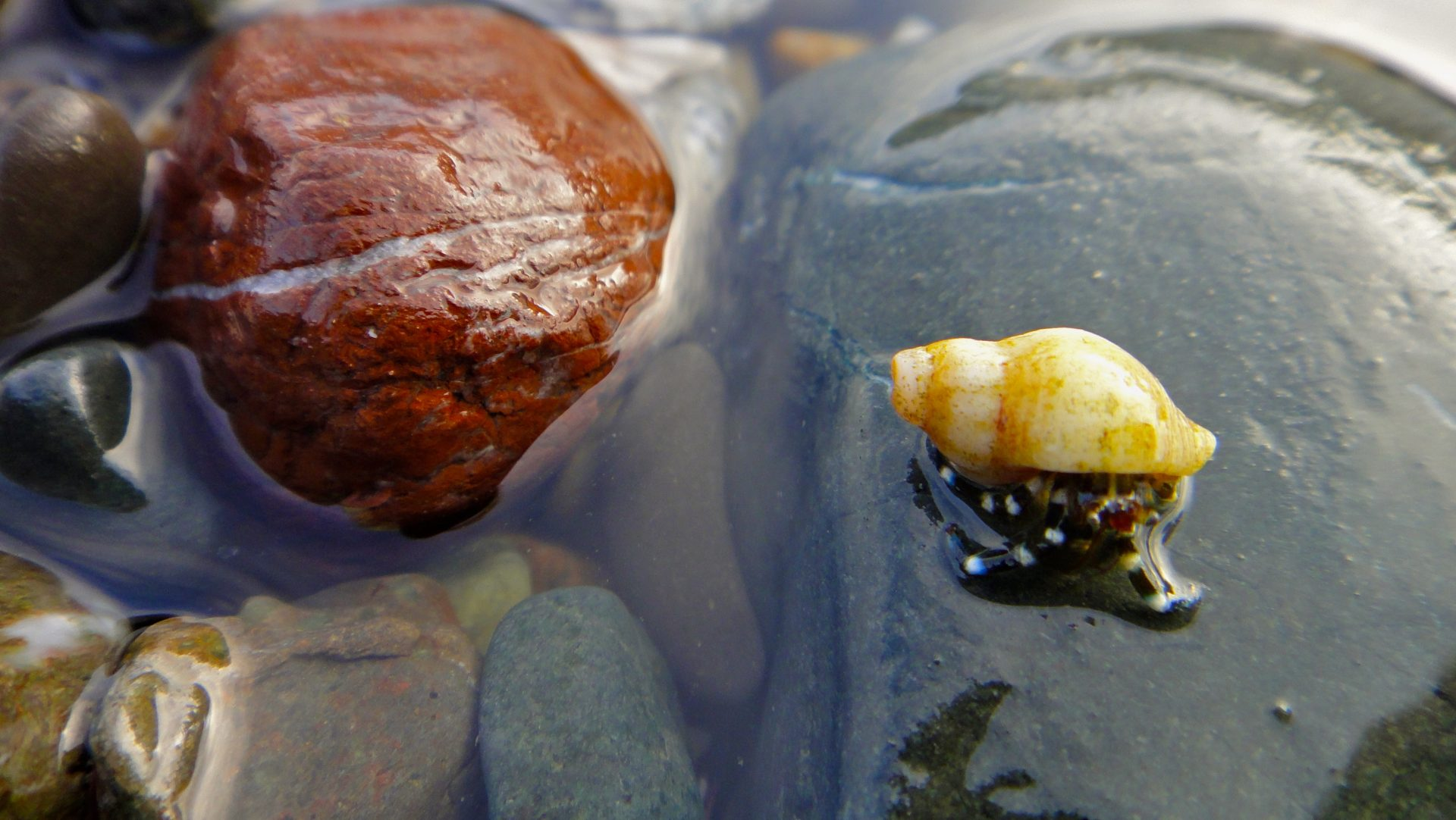 Crab in a Tide Pool –California