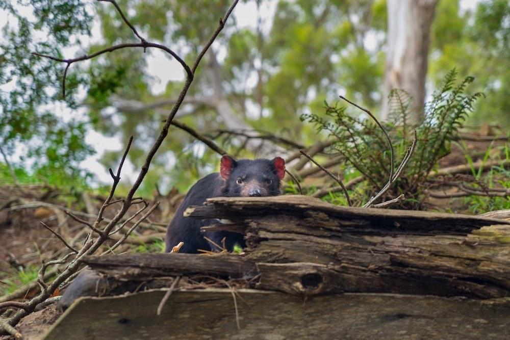 Tasmanian Devil –Tasmania, AU